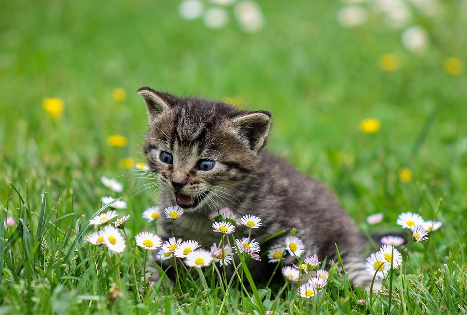 balinez-macska-pic1