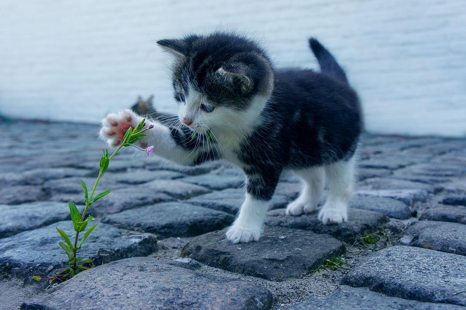 balinez-macska-pic2